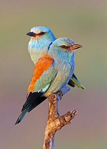 European Roller (Coracias garrulus) pair perched on branch, Pusztaszer, Hungary, May 2008 - Wild Wonders of Europe / Varesvuo