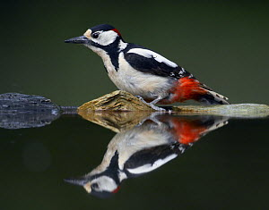 Great Spotted Woodpecker (Dendrocopus major) at water, Pusztaszer, Hungary, May 2008 - Wild Wonders of Europe / Varesvuo