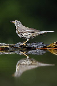 Mistle Thrush (Turdus viscivorus) at water, Pusztaszer, Hungary, May 2008  -  Wild Wonders of Europe / Varesvuo