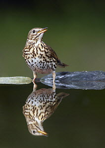 Song Thrush (Turdus philomelos) at water, Pusztaszer, Hungary, May 2008  -  Wild Wonders of Europe / Varesvuo
