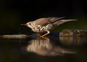 Mistle Thrush (Turdus viscivorus) drinking, Pusztaszer, Hungary, May 2008 - Wild Wonders of Europe / Varesvuo