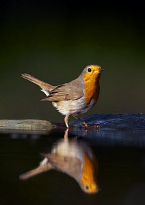 Robin (Erithacus rubecula) at water, Pusztaszer, Hungary, May 2008  -  Wild Wonders of Europe / Varesvuo
