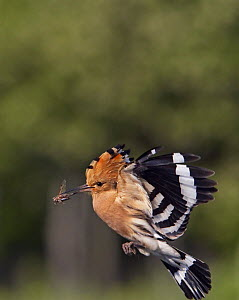 Hoopoe (Upupa epops) in flight with insect prey, Pusztaszer, Hungary, May 2008  -  Wild Wonders of Europe / Varesvuo