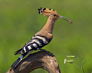 Hoopoe (Upupa epops) with insect prey in beak, Pusztaszer, Hungary, May 2008  -  Wild Wonders of Europe / Varesvuo