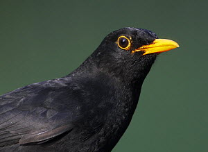 Blackbird (Turdus merula) male, portrait, Pusztaszer, Hungary, May 2008 - Wild Wonders of Europe / Varesvuo