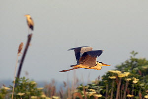 Grey Heron (Ardea cinerea) Pusztaszer, Hungary, May 2008  -  Wild Wonders of Europe / Varesvuo