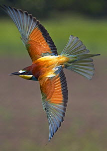 European Bee-eater (Merops apiaster) in flight, Pusztaszer, Hungary, May 2008 - Wild Wonders of Europe / Varesvuo
