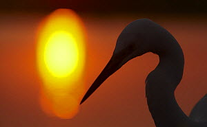 Silhouette of Great Egret (Ardea alba) at sunset, Pusztaszer, Hungary, May 2008  -  Wild Wonders of Europe / Varesvuo