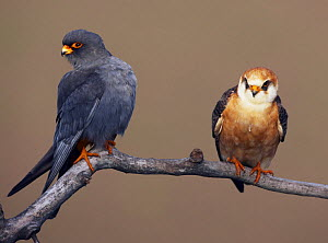Red-footed Falcon (Falco vespertinus) pair perched, male on left, Hortobagy NP, Hungary, May 2008 - Wild Wonders of Europe / Varesvuo