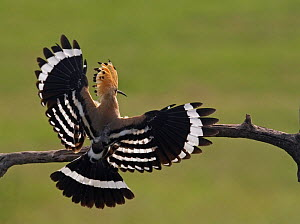 Hoopoe (Upupa epops) landing on branch, rear view with wings open, Hortobagy NP, Hungary, May 2008  -  Wild Wonders of Europe / Varesvuo
