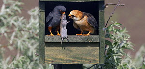 Red-footed Falcon (Falco vespertinus) male brings vole prey to female in nestbox, Hortobagy NP, Hungary, May 2008 - Wild Wonders of Europe / Varesvuo