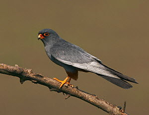 Red-footed Falcon (Falco vespertinus) male perched, Hortobagy NP, Hungary, May 2008  -  Wild Wonders of Europe / Varesvuo