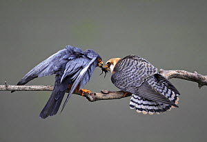 Red-footed Falcon (Falco vespertinus) rear view of male (left) passing prey to female, Hortobagy NP, Hungary  -  Wild Wonders of Europe / Varesvuo