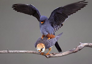 Red-footed Falcon (Falco vespertinus) mating pair, Hortobagy NP, Hungary  -  Wild Wonders of Europe / Varesvuo