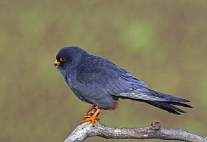 Red-footed Falcon (Falco vespertinus) male perched, Hortobagy NP, Hungary  -  Wild Wonders of Europe / Varesvuo