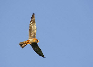 Red-footed Falcon (Falco vespertinus) low angle shot of female in flight, Hortobagy NP, Hungary  -  Wild Wonders of Europe / Varesvuo