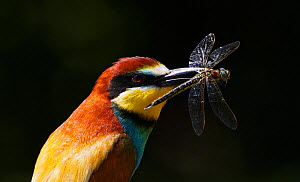 European Bee-eater (Merops apiaster) with Dragonfly prey, Pusztaszer, Hungary, May 2008. Magic Moments book plate.  -  Wild Wonders of Europe / Varesvuo