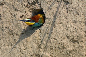 European Bee-eater (Merops apiaster) emerging from nest hole in bank, Pusztaszer, Hungary, May 2008  -  Wild Wonders of Europe / Varesvuo