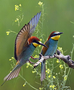 European Bee-eater (Merops apiaster) pair, Pusztaszer, Hungary, May 2008  -  Wild Wonders of Europe / Varesvuo