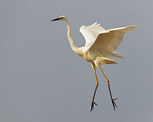 Great Egret (Ardea alba) landing, Pusztaszer, Hungary, May 2008  -  Wild Wonders of Europe / Varesvuo