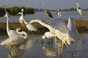 Flock of Great Egret (Ardea alba) at water, Pusztaszer, Hungary, May 2008  -  Wild Wonders of Europe / Varesvuo