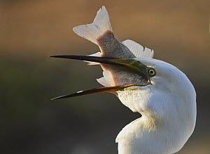 Great Egret (Ardea alba) swallowing large fish, Pusztaszer, Hungary, May 2008  -  Wild Wonders of Europe / Varesvuo