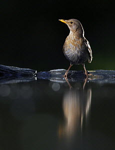 Blackbird (Turdus merula) female at water, Pusztaszer, Hungary, May 2008 - Wild Wonders of Europe / Varesvuo