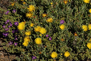 Ice plant (Mesembryanthemum / Dorotheanthus sp.) in flower, Little Karoo, South Africa - Tony Phelps