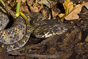 Northern death adder (Acanthophis praelongus) captive, from Northern Australia and New Guinea  -  Rod Williams