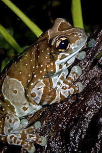 Mission golden-eyed tree frog (Trachycephalus resinifictrix) captive, from NE and Central South America  -  Rod Williams