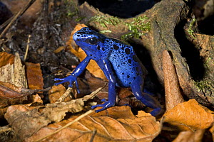 Blue poison dart frog (Dendrobates azureus) captive, from Suriname - Rod Williams