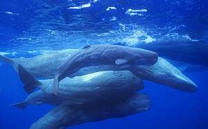 Group of Sperm whales {Physeter macrocephalus} socialising, adults and newborn calf, Azores, Atlantic - Luis Quinta