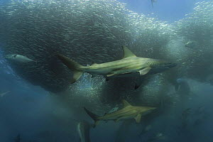 Copper sharks / Bronze whaler (Carcharhinus brachyurus)  and Little eastern tuna {Euthynnus affinis} feeding on a baitball of Sardines / Pilchards (Sardinops sagax) during the annual Sardine Run off t... - Doug Perrine