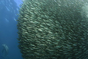 Baitball of Sardines / Pilchards (Sardinops sagax) during the annual Sardine Run off the east coast of South Africa at Mboyti, Transkei or Wild Coast (Indian Ocean) with Bottlenose dolphin (Tursiops t...  -  Doug Perrine