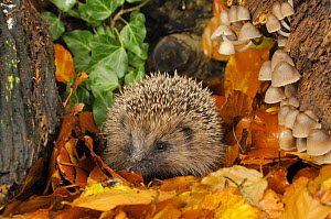 Hedgehog (Erinaceus europaeus) foraging for food in autumn woodland setting. UK  -  Gary K. Smith