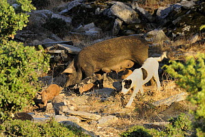 Domestic Dog (Canis familiaris) with feral pigs (Sus scrofa domestica), helping to guard and round up piglets, NE Greece.  -  Nick Upton