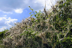 Protective silk webs spun by gregarious caterpillars of Small / Orchard ermine moth (Yponomeuta padella) on roadside hedgerow. Prunus sp. leaves decimated, Dog rose (Rosa caninis) leaves surviving. Wi...  -  Nick Upton