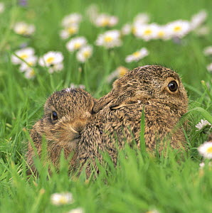 European brown hare (Lepus europaeus) two leverets crouching in grass waiting for mother to return, UK - Andy Rouse
