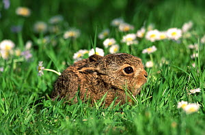 European brown hare (Lepus europaeus) leveret crouching low in grass, UK - Andy Rouse