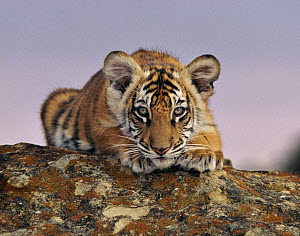 Bengal tiger (Panthera tigris) cub. USA, taken under controlled conditions.  -  Andy Rouse