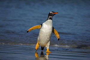 Gentoo penguin (Pygoscelis papua) walking out of the sea, Falkland Islands  -  Andy Rouse