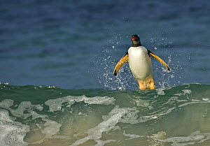 Gentoo penguin (Pygoscelis papua) emerging from the sea, surfing on a wave, Falkland Islands - Andy Rouse