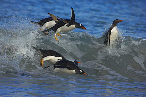 Gentoo penguins (Pygoscelis papua) surfing on a wave, Falkland Islands - Andy Rouse