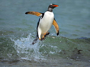 Gentoo penguin (Pygoscelis papua) surfing, jumping out of the sea, Falkland Islands  -  Andy Rouse