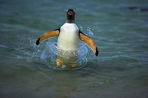 Gentoo penguin (Pygoscelis papua) surfing, about to jump out of the sea, Falkland Islands - Andy Rouse