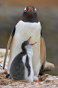 RF- Gentoo penguin (Pygoscelis papua) parent and chick, Falkland Islands. (This image may be licensed either as rights managed or royalty free.) - Andy  Rouse