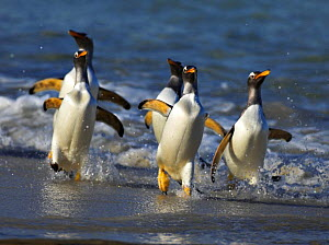 Gentoo penguins (Pygoscelis papua) emerging from the sea, coming ashore, Falkland Islands  -  Andy Rouse