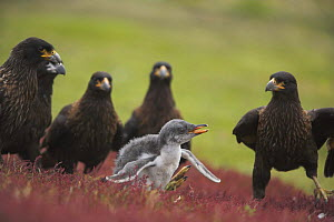 Gentoo penguin (Pygoscelis papua) chick about to be killed by flock of Striated Caracara {Polyborus plancus} Falkland Islands  -  Andy Rouse