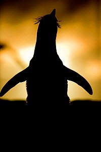 Silhouette of Rockhopper penguin (Eudyptes chrysocome) stretching at sunset, Falkland Islands  -  Andy Rouse