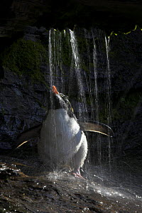 Rockhopper penguin (Eudyptes chrysocome) bathing under a freshwater shower, Falkland Islands  -  Andy Rouse